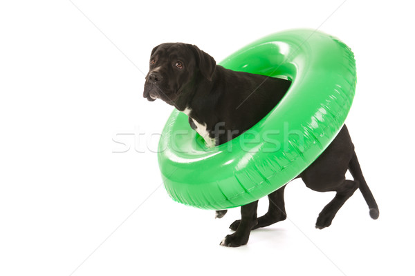 Summer dog with swimming toy Stock photo © ivonnewierink