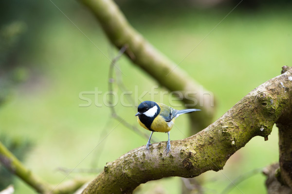 Great tit in nature Stock photo © ivonnewierink