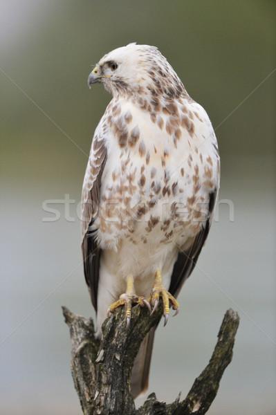 Urubu natureza árvore pássaro Foto stock © ivonnewierink