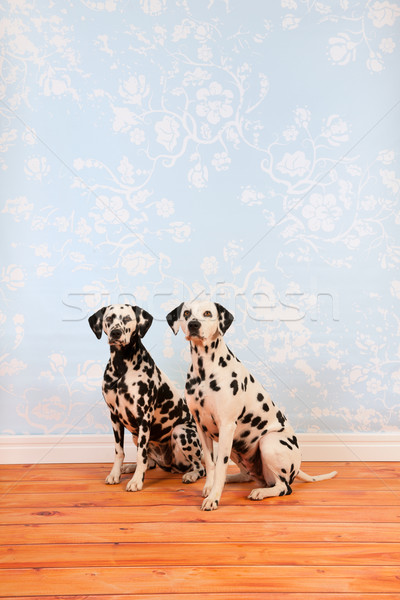 далматинец собаки сидят гостиной Сток-фото © ivonnewierink