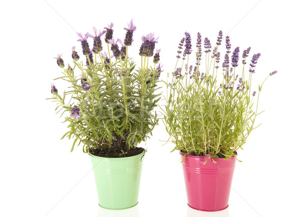 Lavender Stoechas and Lavandula Stock photo © ivonnewierink