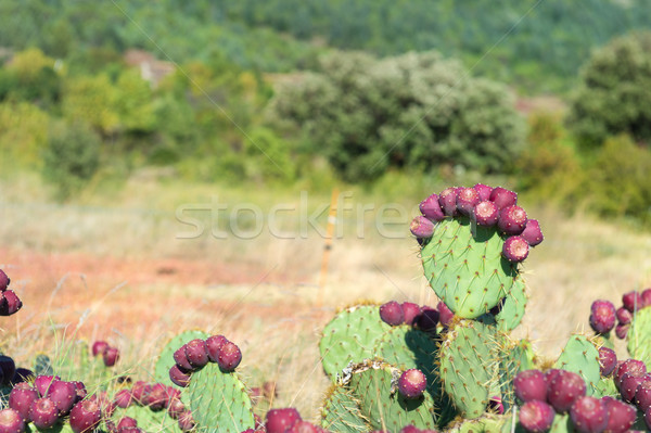 Vegetation cacti in France Stock photo © ivonnewierink