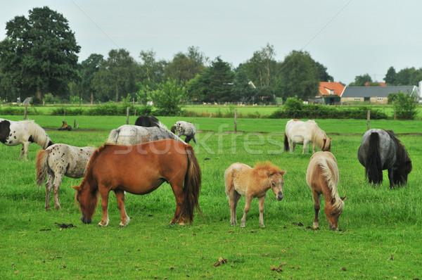 American mini horses Stock photo © ivonnewierink