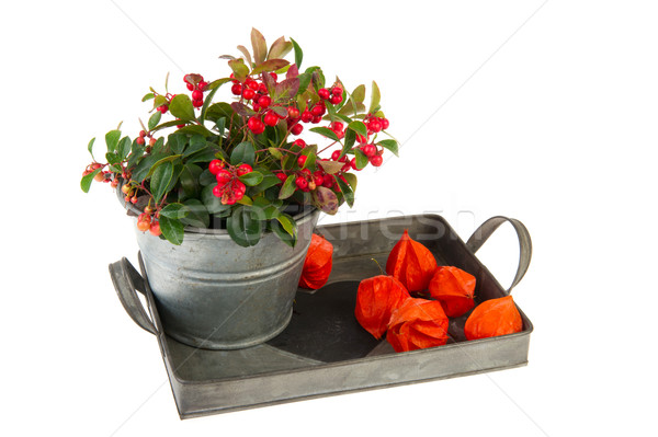 Stock photo: Gaultheria in autumn