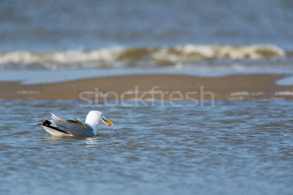 Lesser Black-backed Gull swimming in sea Stock photo © ivonnewierink