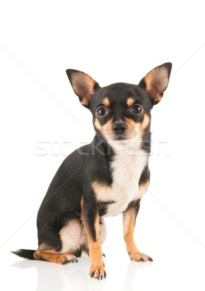 Foto stock: Isolado · branco · sessão · cão · preto