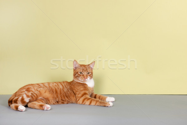 red tabby cat on green background Stock photo © ivonnewierink
