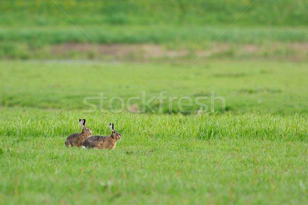 работает области луговой млекопитающее Сток-фото © ivonnewierink