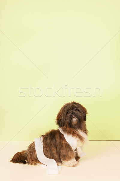Dog with bandage Stock photo © ivonnewierink