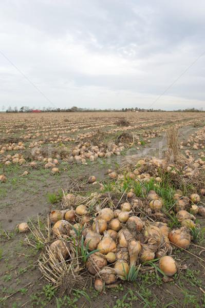 Cipolle campi raccolto agricoltura alimentare Foto d'archivio © ivonnewierink