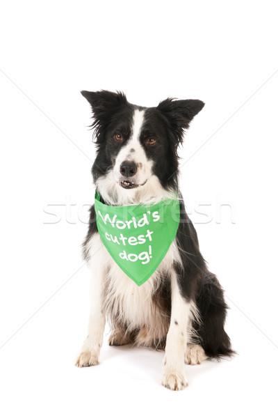 Border collie world's cutest dog Stock photo © ivonnewierink