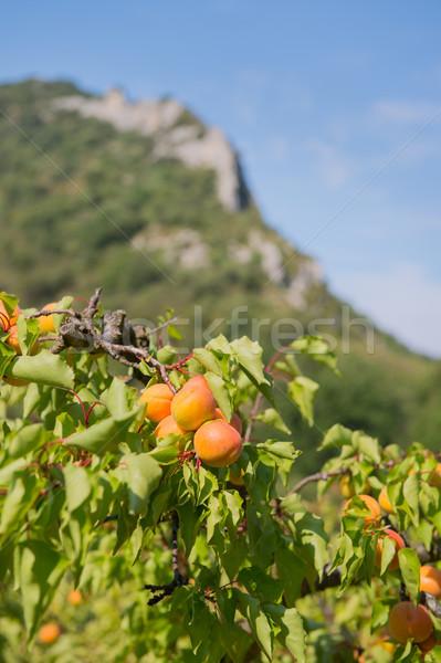 Boomgaard veel rijp vruchten bergen outdoor Stockfoto © ivonnewierink