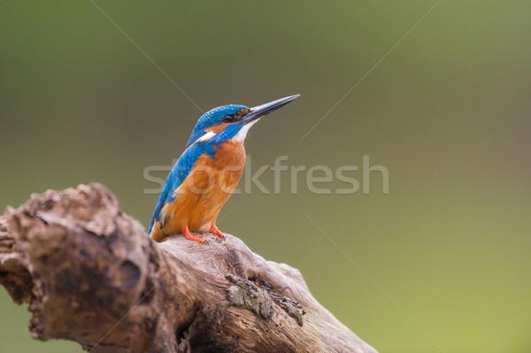 Eisvogel Baumstamm Baum Vogel blau Freien Stock foto © ivonnewierink