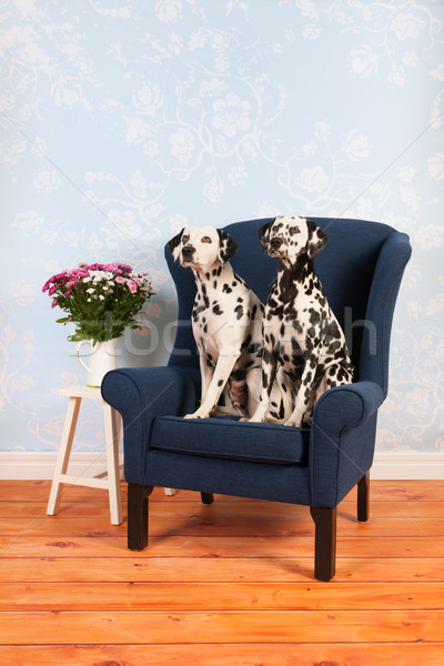 Dálmata perro salón puro raza silla Foto stock © ivonnewierink