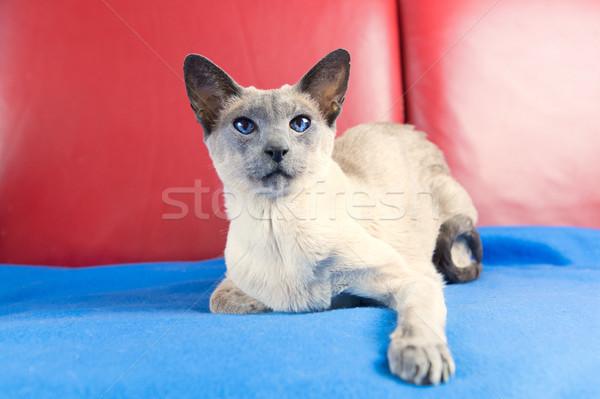 Kék pont sziámi macska felnőtt piros pad Stock fotó © ivonnewierink