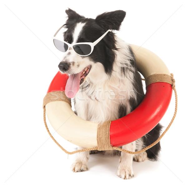 Бордер колли спасательные собака смешные изолированный белый Сток-фото © ivonnewierink