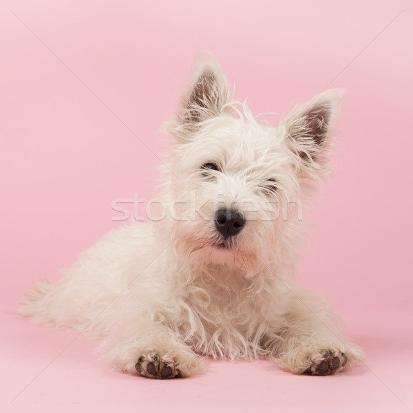West Highland White Terrier puppy Stock photo © ivonnewierink
