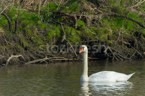 White Mute swan Stock photo © ivonnewierink