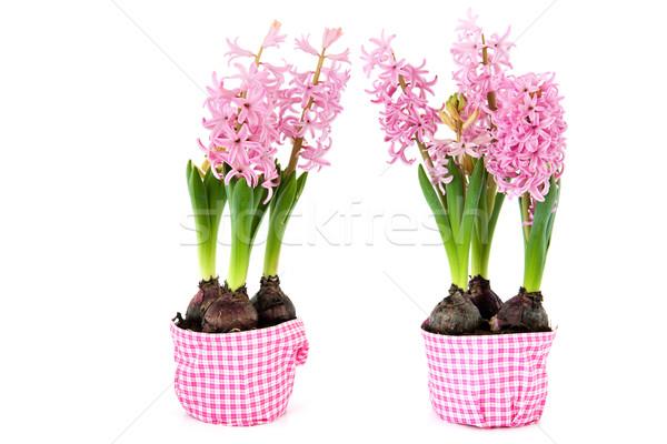 ピンク 花 孤立した 白 春 ストックフォト © ivonnewierink
