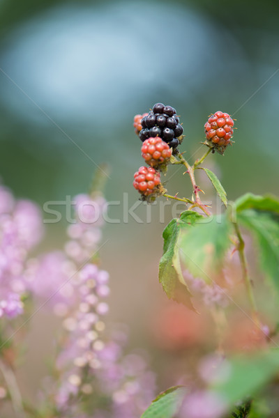 Blackberries and heather Stock photo © ivonnewierink