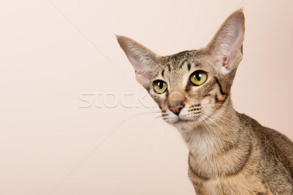 オリエンタル ショートヘア 猫 クリーム 色 目 ストックフォト © ivonnewierink