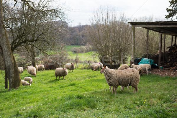 French race sheep in village Stock photo © ivonnewierink