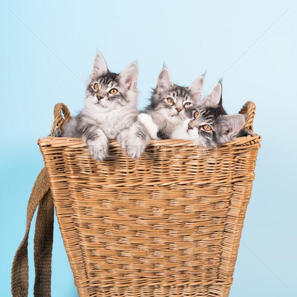 Maine coon kittens in basket Stock photo © ivonnewierink