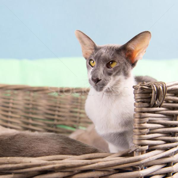 Modern sziámi macska szürke foltos merő fajta Stock fotó © ivonnewierink