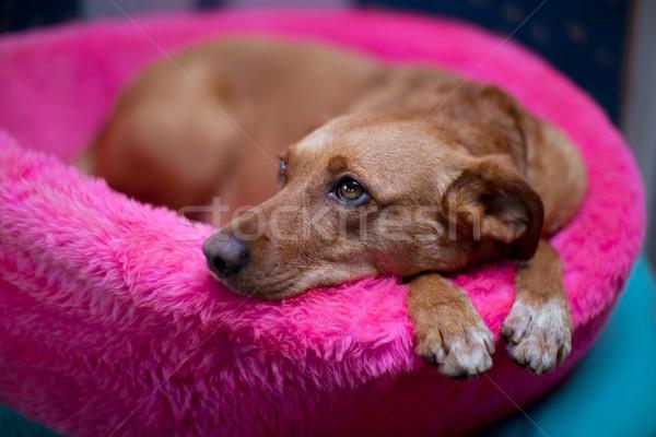 коричневая собака Cute коричневый женщины собака розовый Сток-фото © ivonnewierink