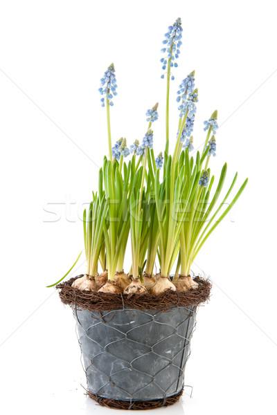 Saksı mavi üzüm bahar çiçek çiçekler Stok fotoğraf © ivonnewierink