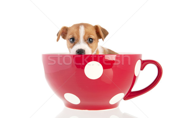 Jack Russel puppy in red cup Stock photo © ivonnewierink