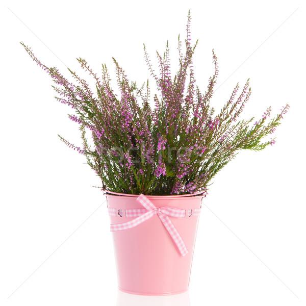 Heath in flower pot Stock photo © ivonnewierink