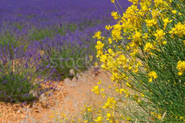 Geel bezem lavendel veld frans bloemen zomer Stockfoto © ivonnewierink