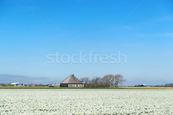Typisch nederlands boerderij huis bloem velden Stockfoto © ivonnewierink