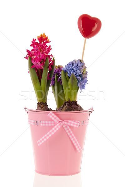 Foto stock: Colorido · rosa · balde · isolado · branco · flores