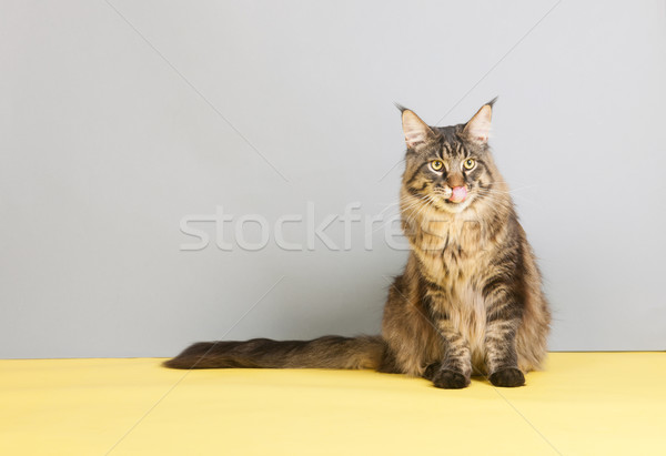 Maine coon cat licking with tongue Stock photo © ivonnewierink