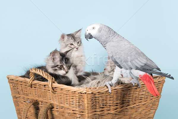 Stock fotó: Papagáj · Maine · kiscicák · szürke · piros · mese