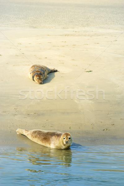 Seal in Dutch sea Stock photo © ivonnewierink