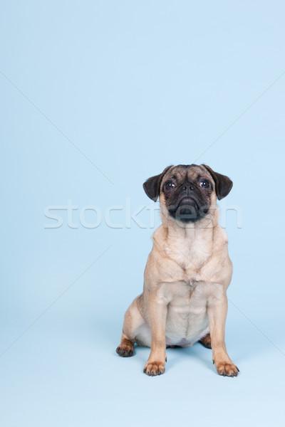 Puppy Blauw weinig vergadering vloer dier Stockfoto © ivonnewierink