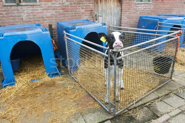 Fiatal farm ketrec fekete állat Stock fotó © ivonnewierink