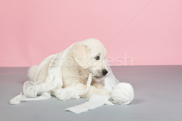 Puppy golden retreiverplaying with bandage Stock photo © ivonnewierink