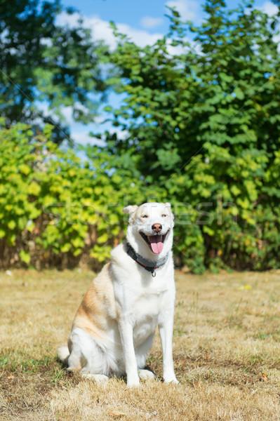 ブロンド ハスキー 救助 犬 レース 屋外 ストックフォト © ivonnewierink