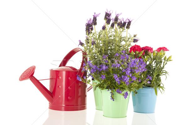 Lavender Stoechas Stock photo © ivonnewierink