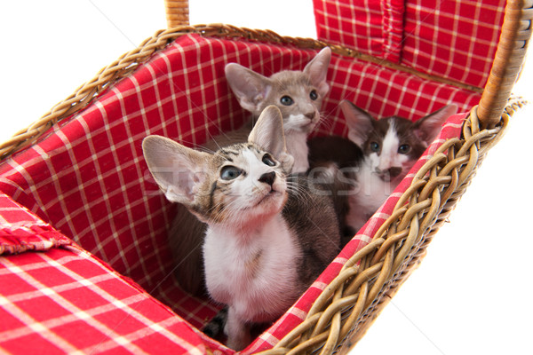 Siamese kitten in picnic basket Stock photo © ivonnewierink