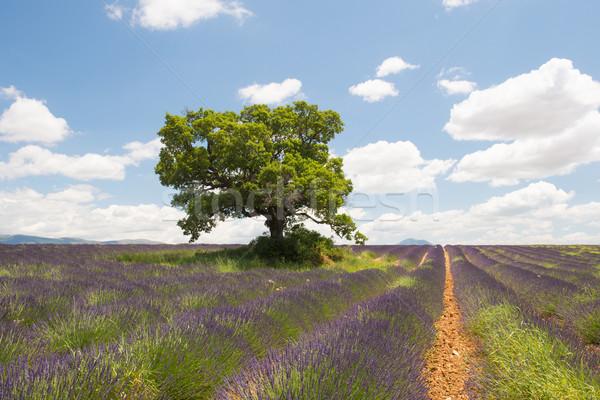 フランス語 ラベンダー畑 風景 ツリー ラベンダー畑 夏 ストックフォト © ivonnewierink