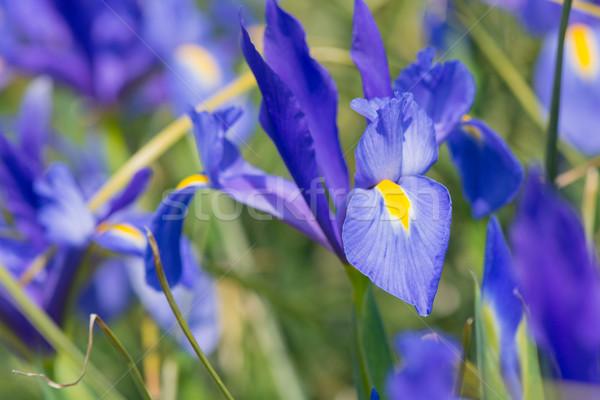 Iris azul magia sol Foto stock © ivonnewierink