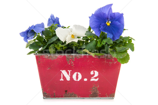 Vintage flower pot Pansy plants Stock photo © ivonnewierink