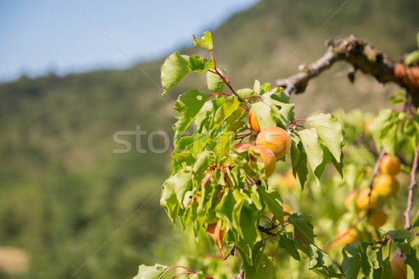 Orchard with apricots Stock photo © ivonnewierink