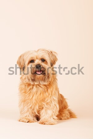 Little long haired dog on beige background Stock photo © ivonnewierink