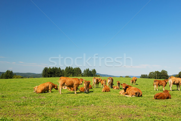 Limousin cows Stock photo © ivonnewierink